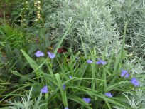 Spiderwort and Dusty Miller In The Western Border