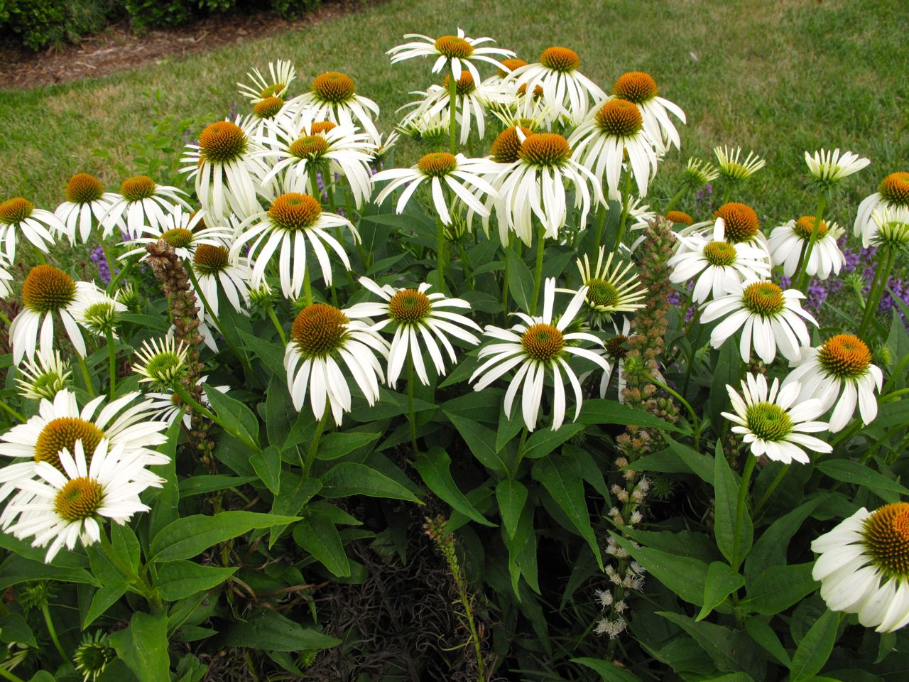 echinacea purpurea white swan pbmgarden. Black Bedroom Furniture Sets. Home Design Ideas