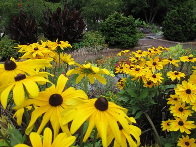 Rudbeckia hirta 'Indian Summer' - Black-Eyed Susan