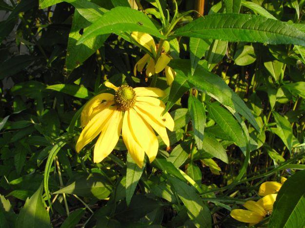 Leaves of Helianthus angustifolius (Swamp Sunflower) growing up through flowers of Rudbeckia hirta 'Irish Eyes'