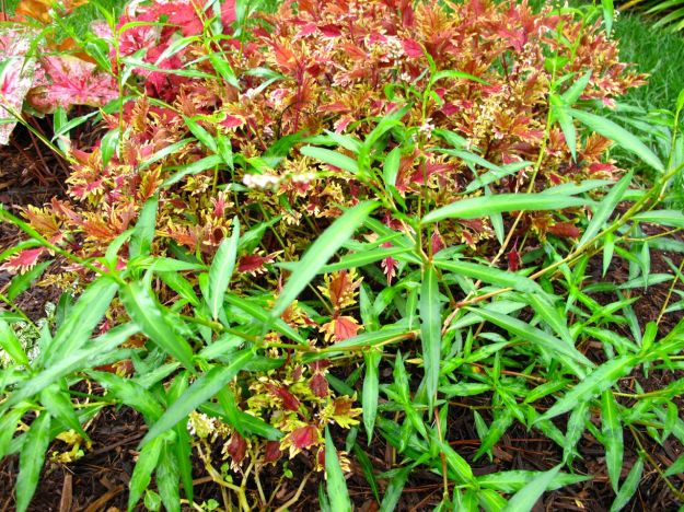 Coleus and Mystery Plant