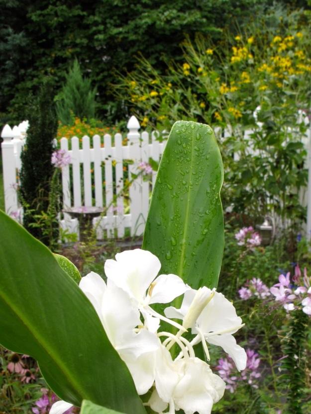 Hedychium coronarium (Ginger lily)-2