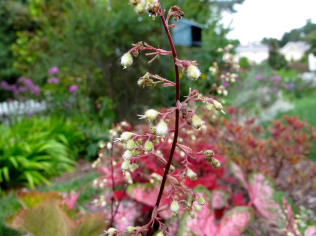 Heuchera villosa 'Big Top Bronze' (Coral Bells), Coleus, Caladium
