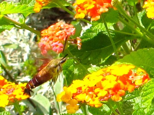 Hummingbird Moth hovering over Lantana camara (Common lantana)