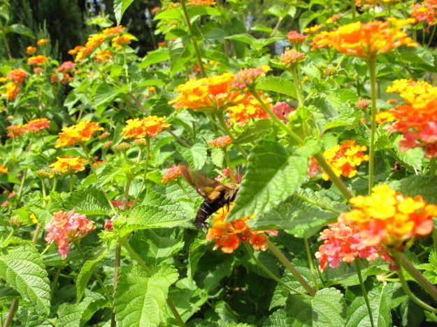 Hummingbird Moth, Clearwing Moth at Lantana camara (Common lantana)