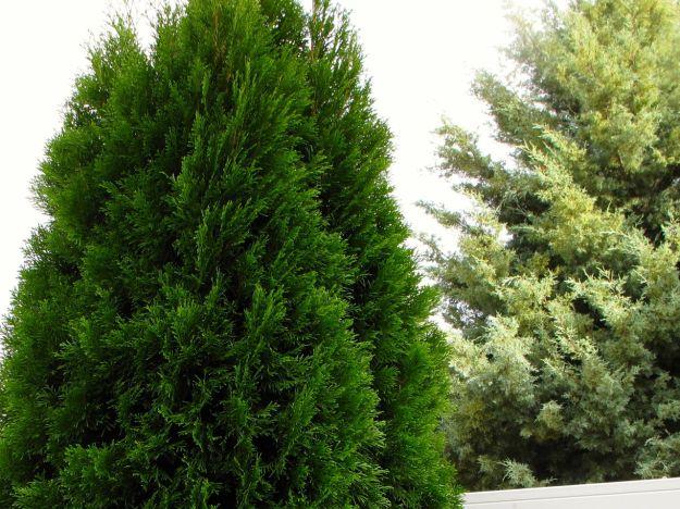 Thuja occidentalis 'Emerald' (Arborvitae) and a neighbor's 'Carolina Sapphire' Arizona Cypress