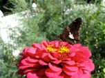 Zinnia With Silver-spotted Skipper (Epargyreus clarus)