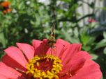 Zinnia With Skipper