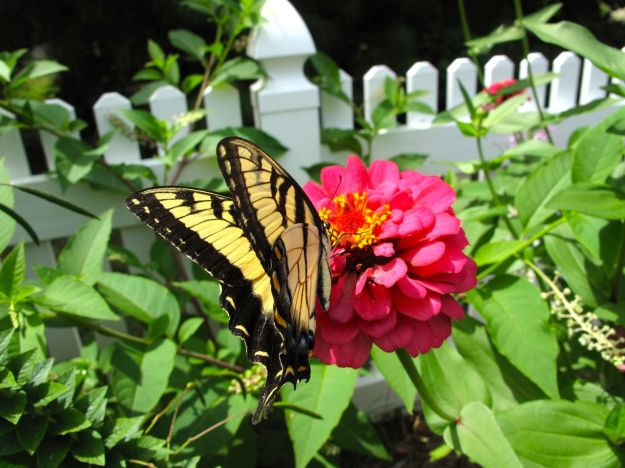 Swallowtail and Zinnia