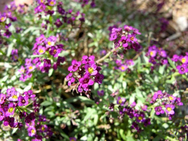 Alyssum 'Easter Bonnet Violet'