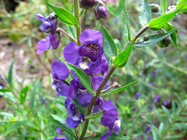 Angelonia 'Purple'