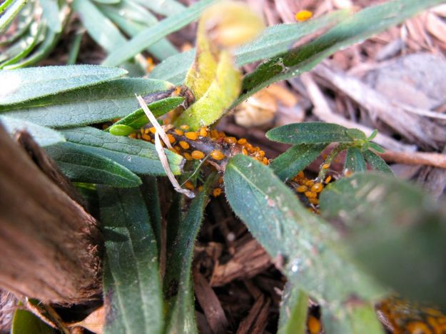 Asclepias tuberosa (Butterfly Plant) infested with Aphis nerii (Oleander Aphid or Milkweed Aphid)