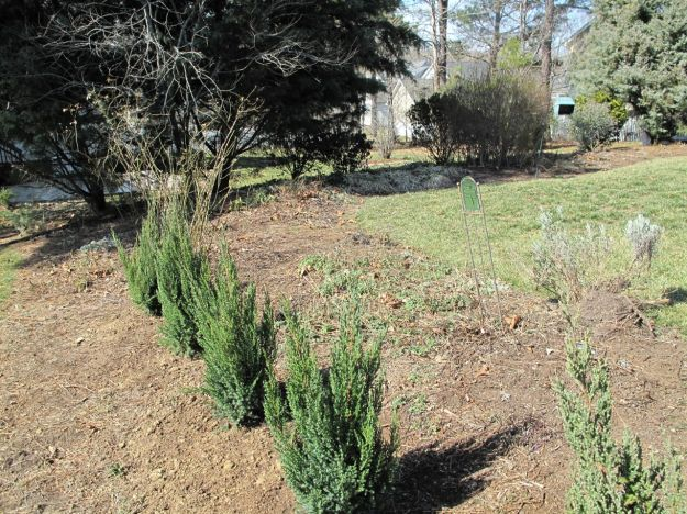 Blue Point Juniper hedge  2-20-2011