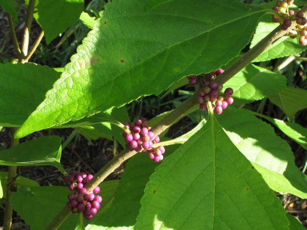 Ripening Berries, Callicarpa americana (American beautyberry)