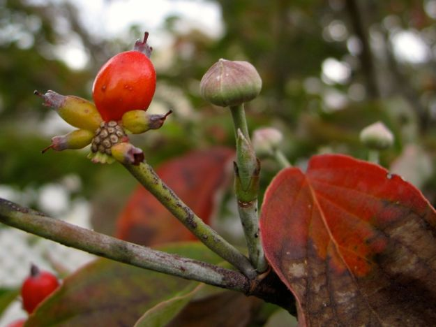 Berries-Cornus florida (Flowering Dogwood)