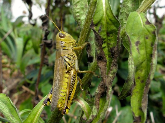 Differential grasshopper, Melanoplus differentialis
