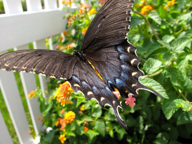 Eastern Tiger Swallowtail (Papilio glaucus)-5