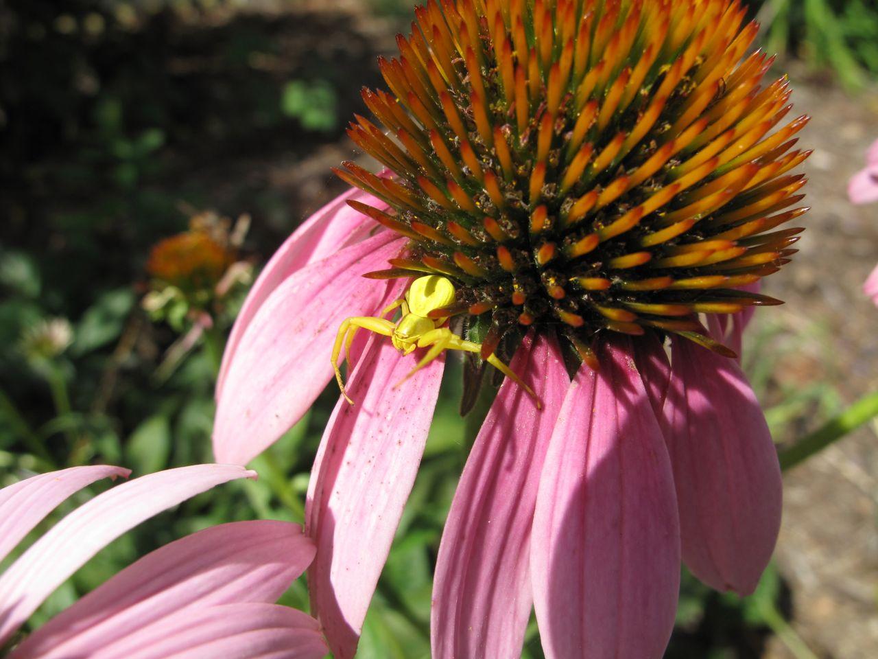 echinacea purpurea pbmGarden