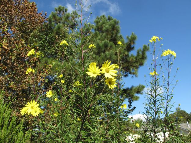 Helianthus angustifolius (Swamp Sunflower)