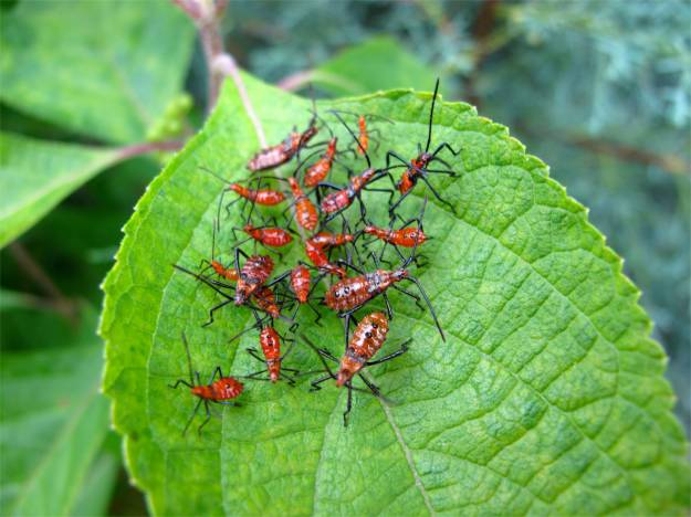 Large Milkweed Bugs or Leaffooted Bug nymphs on Callicarpa americana (American beautyberry)