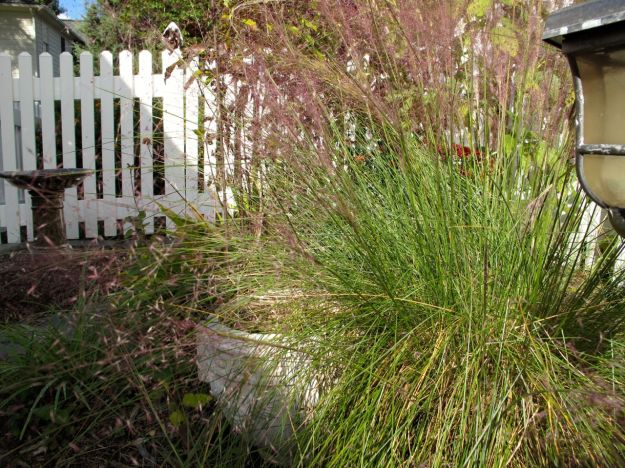 Muhlenbergia capillaris (Pink Muhly Grass) in Southern Side Path