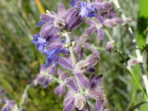 Perovskia atriplicifolia (Russian Sage)