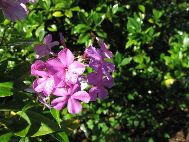Phlox paniculata (Garden Phlox)   'Robert Poore'  possibly