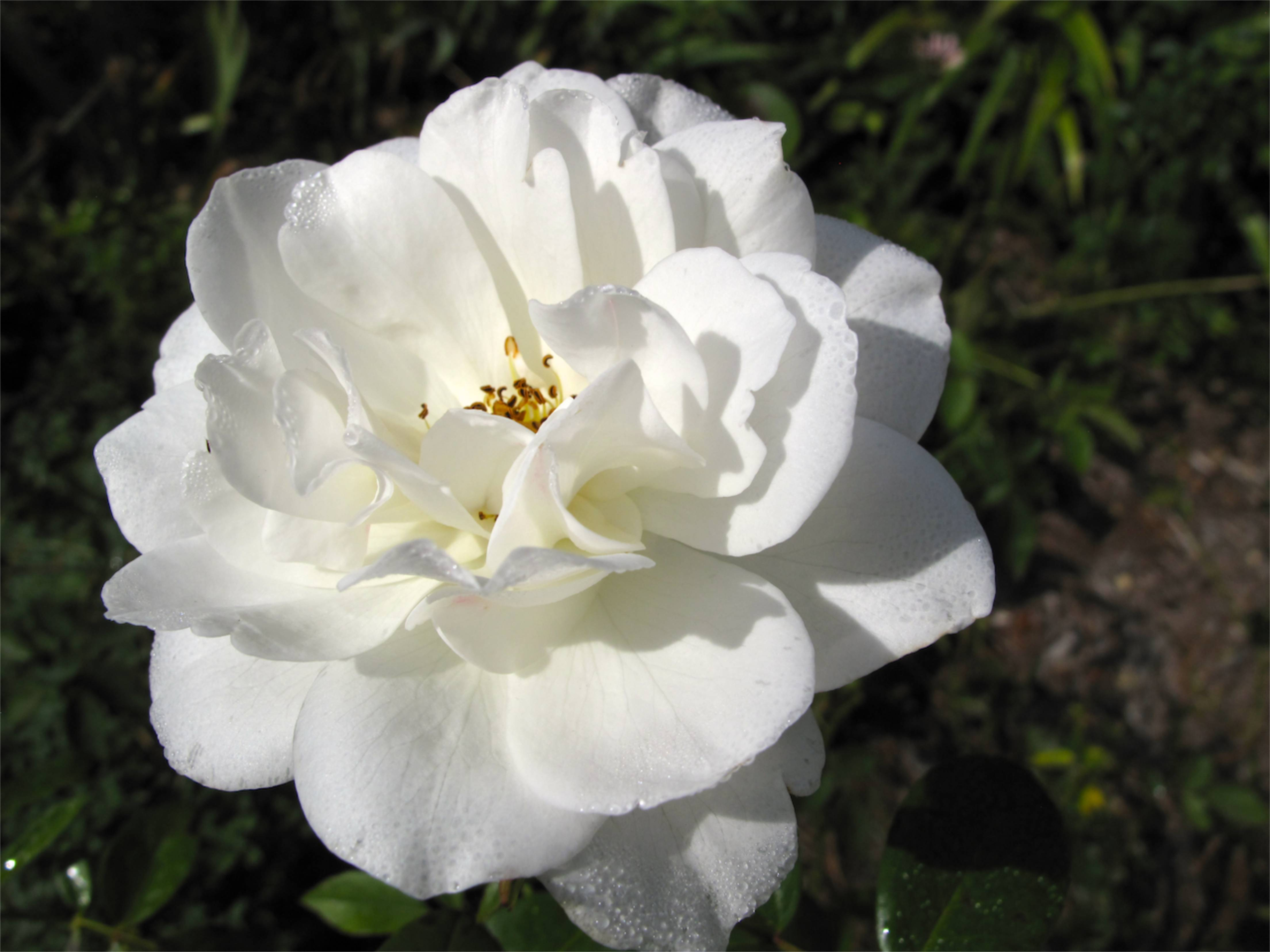 Rosé: Iceberg Rose