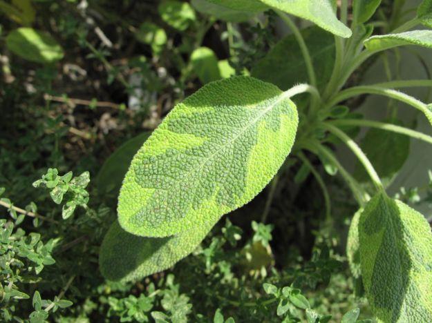 Salvia Dorada 'Aurea' (Golden Sage)