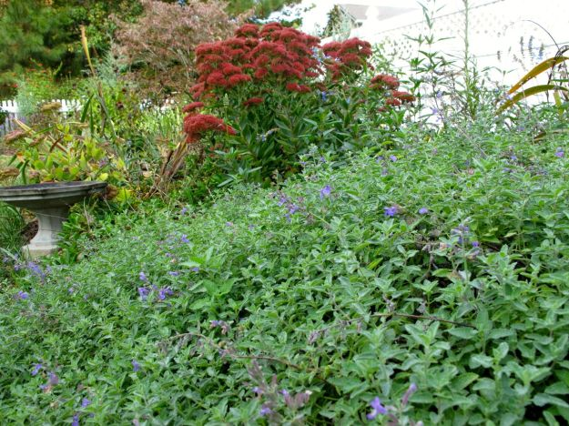 Sedum 'Autumn Joy' (Herbstfreude) (Stonecrop) and Nepeta 'Walker's Low' (Catmint)