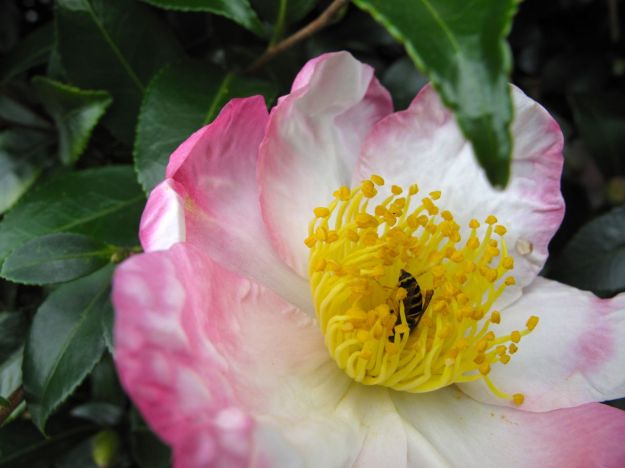 Camellia sasanqua in northern border