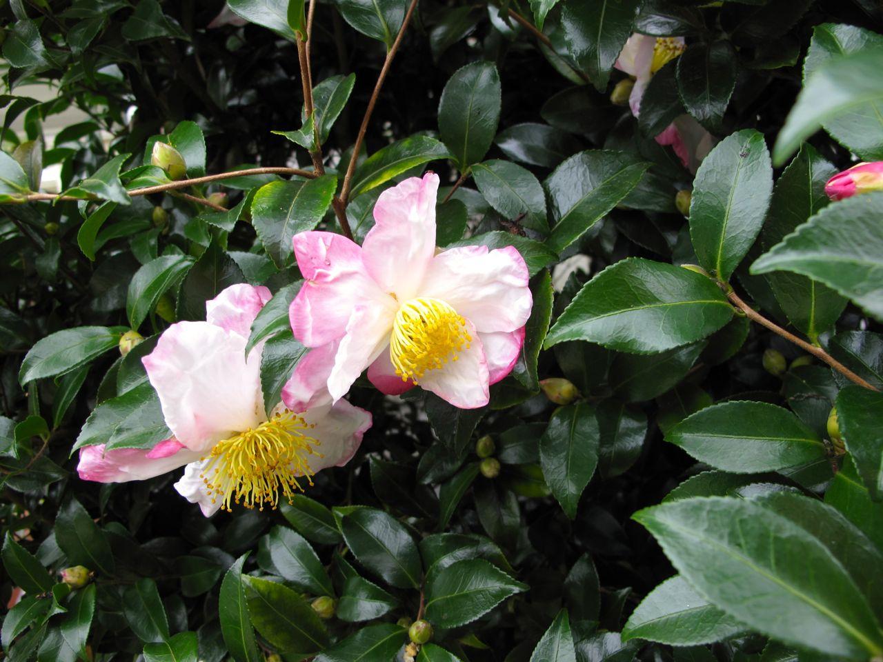 camellia sasanqua pbmgarden