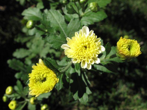 Chysanthemum