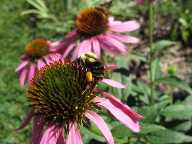 Bee on Echinacea purpurea (Purple Coneflower)