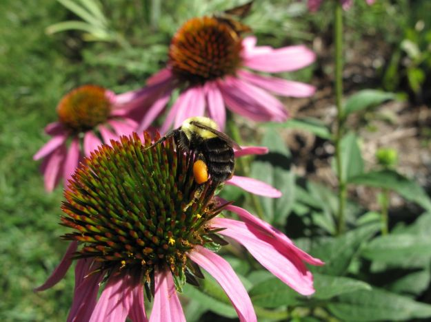 Bee on Echinacea purpurea (Purple Coneflower)