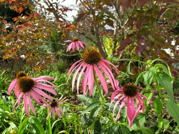 Echinacea purpurea (Purple Coneflower) Near Cornus florida (Flowering Dogwood)