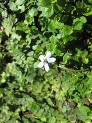 Isotoma fluviatilis (Blue Star Creeper)