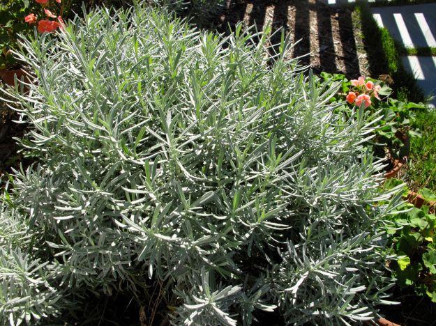 Lavandula x intermedia 'Dutch' (Dutch Lavender)