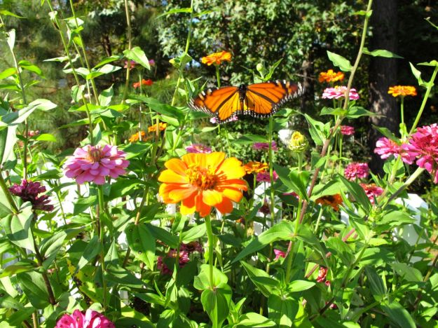 Monarch butterfly (Danaus plexippus) and Zinnias