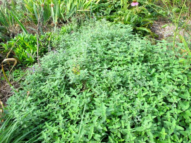 Nepeta 'Walker's Low' (Catmint)
