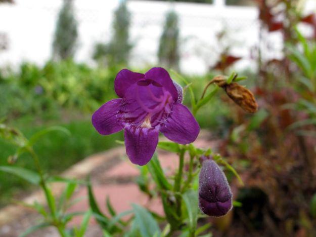 Penstemon  mexicali 'Pike's Peak Purple' (Beardtongue)