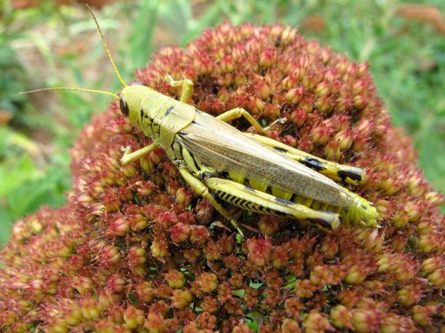 Sedum 'Autumn Joy' (Herbstfreude) and Differential grasshopper, Melanoplus differentialis