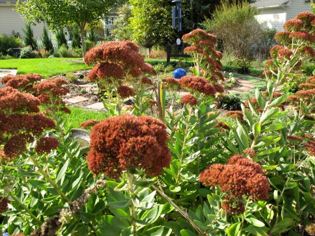 Sedum 'Autumn Joy' (Herbstfreude) (Stonecrop)