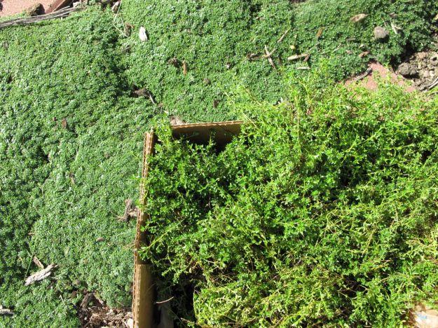 Thymus serpyllum 'Elfin' (Elfin Thyme) and Thyme sp.