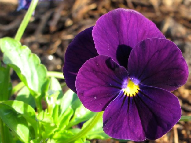 Viola (purple) - detail