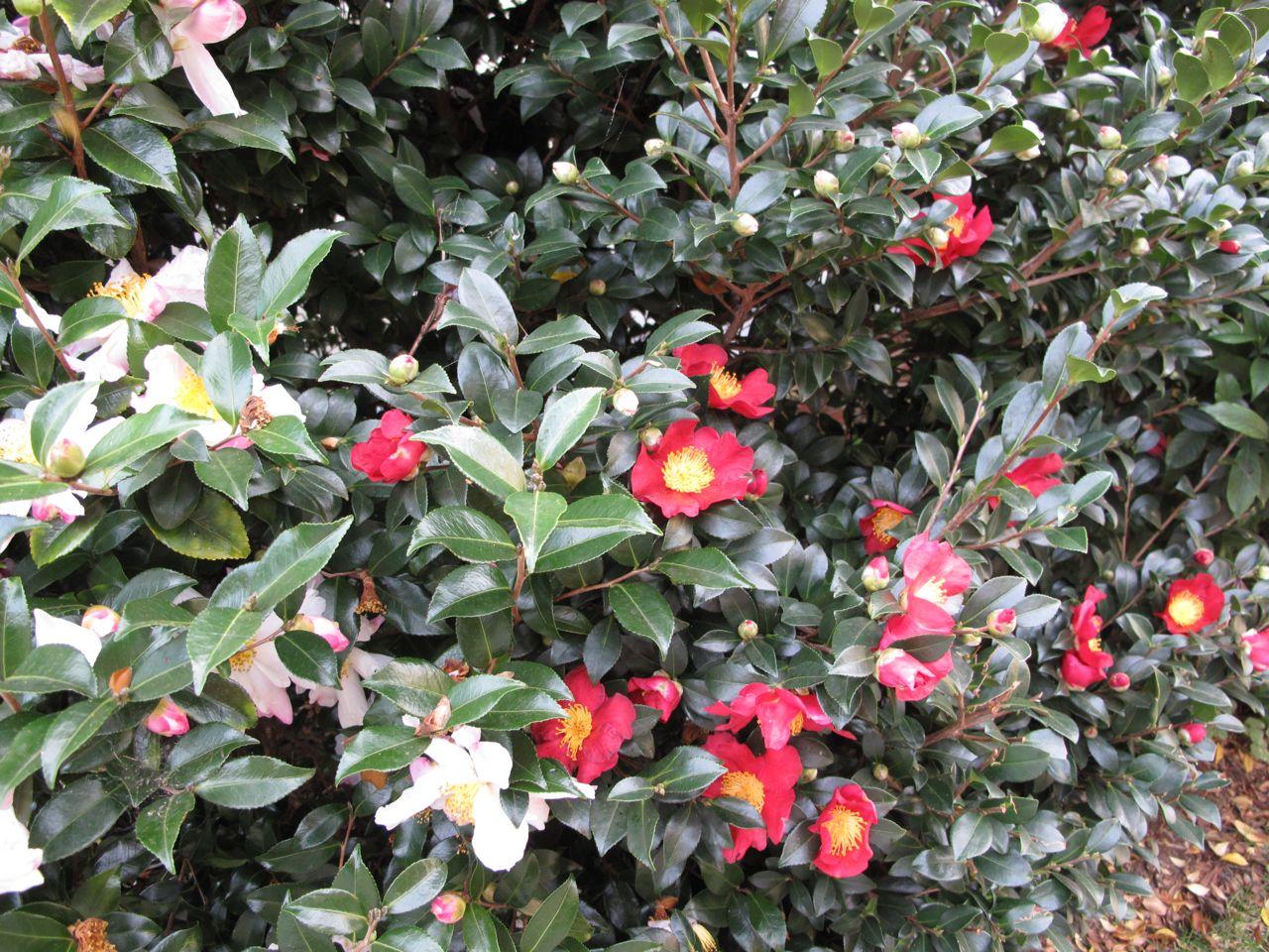 Hydrangea quercifolia ruby slippers pbmgarden for Camellia sasanqua
