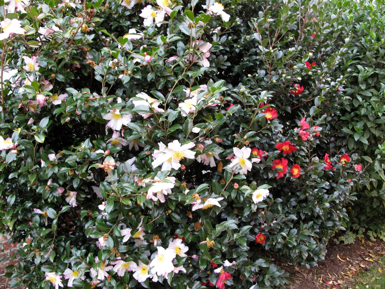 Camellia sasanqua pbmgarden for Camellia sasanqua