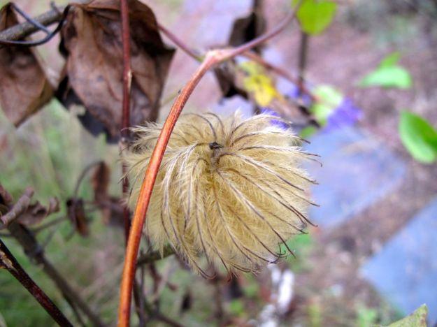 Clematis 'Jackmanii' seed head