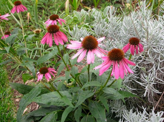 Echinacea purpurea (Purple Coneflower) with Lavender