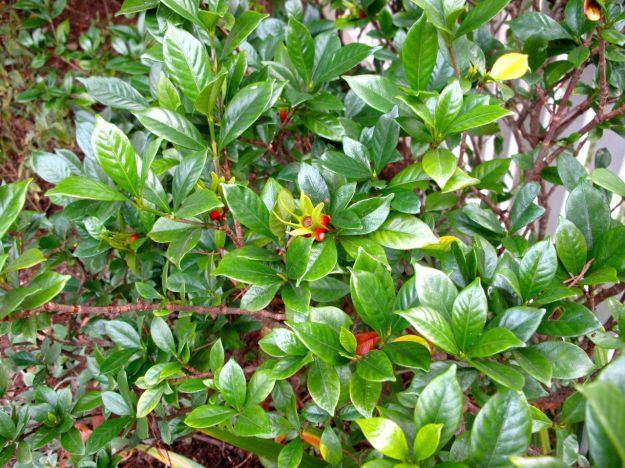 Gardenia Hips -Gardenia jasminoides 'Chuck Hayes'